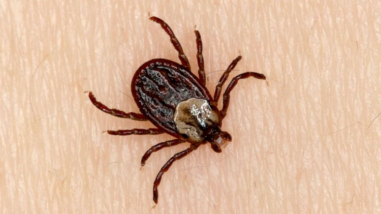 How Ticks Infestation Can Put You in Danger?